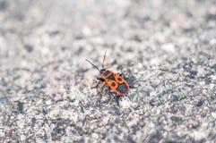 El escarabajo rojo se arrastra en un día de verano caliente en el asfalto Fotografía de archivo libre de regalías