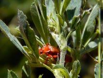 El escarabajo rojo se sienta en la hoja verde de la planta Fotos de archivo libres de regalías