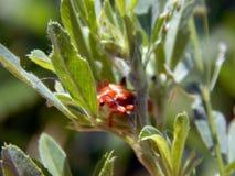 El escarabajo rojo se sienta en la hoja verde de la planta Imagen de archivo