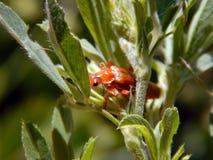 El escarabajo rojo se sienta en la hoja verde de la planta Fotografía de archivo