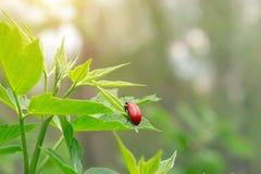 El escarabajo rojo se sienta en una hoja de un arbusto Fotos de archivo libres de regalías