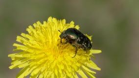 El escarabajo Rose Chafer o el aurata verde de Rose Chafer Cetonia se arrastra en una flor del diente de le?n almacen de video