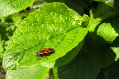 el Escarabajo-soldado se sienta en una hoja recientemente revelada imagen de archivo libre de regalías
