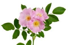 El escaramujo florece con la hoja aislada en el fondo blanco Imagen de archivo libre de regalías