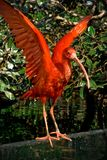 El escarlata ibis separa las alas Foto de archivo