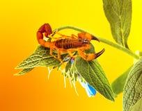El escorpión tanzano de la corteza Foto de archivo