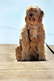 El esperar del perro doméstico Fotografía de archivo libre de regalías