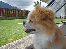 El esperar del perro (perro de aguas tibetano) Foto de archivo libre de regalías