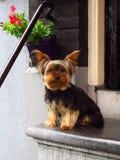 El esperar que se sienta del perro del terrier de Yorkshire en espaldas encorvadas del paso Fotografía de archivo libre de regalías
