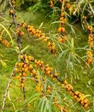 El espino cerval de mar - rhamnoides de Hippophae en el jardín Imágenes de archivo libres de regalías