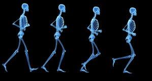 El esqueleto Foto de archivo libre de regalías