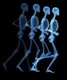 El esqueleto Fotos de archivo libres de regalías