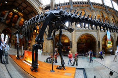 El esqueleto del Brontosaurus, el eje del museo Fotos de archivo