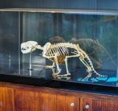 El esqueleto del diablo tasmano muestra en la caja de presentación de cristal fotos de archivo libres de regalías