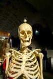 El esqueleto humano en la exposición Imagenes de archivo