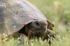 El estímulo grande thighed graeca del Testudo de la tortuga en la hierba Imagenes de archivo