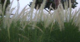 El estípite plumoso de la plata de la hierba de pampa que se sacude en viento en la puesta del sol planta de movimiento lento en  almacen de video