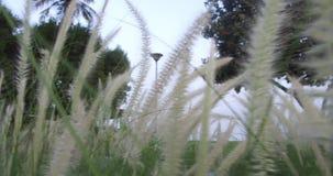 El estípite plumoso de la plata de la hierba de pampa que se sacude en viento en la puesta del sol planta de movimiento lento en  almacen de metraje de vídeo