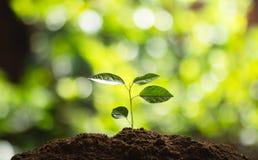 El establecimiento del crecimiento del árbol de los árboles que siembra la cuarta semilla del paso es un árbol imágenes de archivo libres de regalías