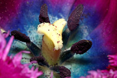 El estambre de la flor del tulipán Imagen de archivo