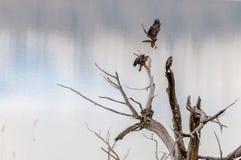 El estar al acecho de los halcones Foto de archivo libre de regalías