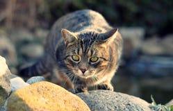 El estar al acecho del gato Fotografía de archivo