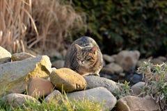 El estar al acecho del gato Foto de archivo