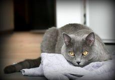 El estar al acecho del gato Fotografía de archivo libre de regalías