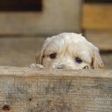 El estar al acecho dulce del perrito del golden retriever Imagen de archivo libre de regalías