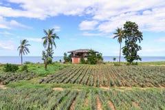 El estilo tailandés abandonó la playa de la casa con el campo de la piña Fotografía de archivo libre de regalías