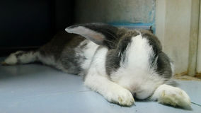 El estiramiento perezoso del conejo después de comió la zanahoria fotos de archivo libres de regalías