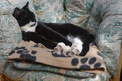 El estirar blanco y negro del gato Imagen de archivo libre de regalías