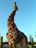 El estirar de la jirafa Foto de archivo libre de regalías