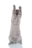 El estirar del gatito Fotografía de archivo libre de regalías