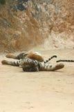 El estirar del tigre Imagen de archivo