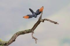 El estornino de alas rojas saca de una rama seca Imagen de archivo