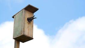 El estornino negro alimenta los polluelos almacen de video