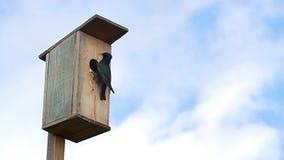El estornino negro alimenta los polluelos almacen de metraje de vídeo