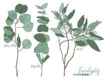 El eucalipto sembrado, dólar de plata, árbol de los azules cielos se va Imagen de archivo