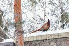 El faisán con la cola larga se sienta en la cerca de piedra nevada Foto de archivo