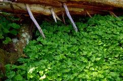 el Falso-lirio-de--valle cubre el piso del bosque imágenes de archivo libres de regalías