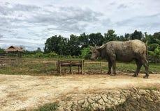 El fango sucio del búfalo tailandés era soporte al aire libre foto de archivo libre de regalías