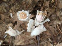 El fantasma florece el Monotropa Uniflora Fotografía de archivo