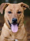 El Feist rojo de Terrier del laboratorio de Vizsla mezcló el perro de la raza Fotos de archivo libres de regalías