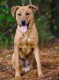 El Feist rojo de Terrier del laboratorio de Vizsla mezcló el perro de la raza Foto de archivo libre de regalías