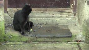 El Felis casero hermoso negro del gato cogió a un comandante del Parus del pájaro del paro carbonero, jugando con la presa, tiene almacen de metraje de vídeo