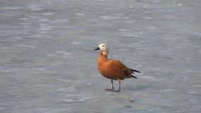 El ferruginea rubicundo del Tadorna del shelduck camina en el hielo y el agua potable almacen de video