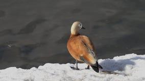 El ferruginea rubicundo del Tadorna del shelduck se coloca al borde del hielo y de las miradas alrededor almacen de metraje de vídeo