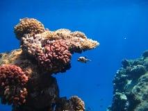 El filón coralino Fotografía de archivo libre de regalías