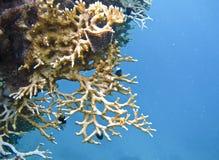 El filón coralino Imagen de archivo